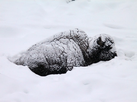 Bison in deep snow © Ken Cole