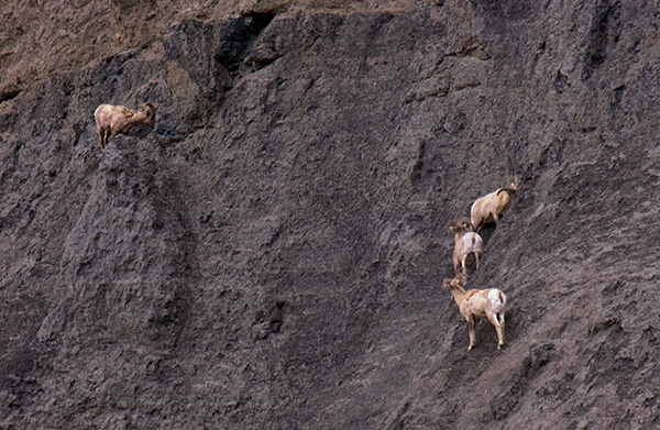 Bighorn rams in Gardner Canyon. Yellowstone NP