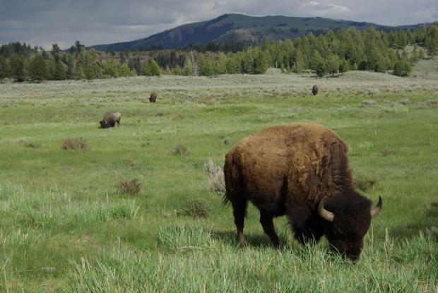 Buffalo in Yellowstone © Ken Cole
