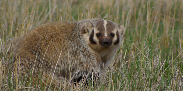 Badger, Red Rock Lakes National Wildlife Refuge, MT © Ken Cole