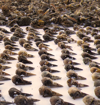 The remains of some of the birds found in mining claim marker pipes; Nevada Department of Wildlife